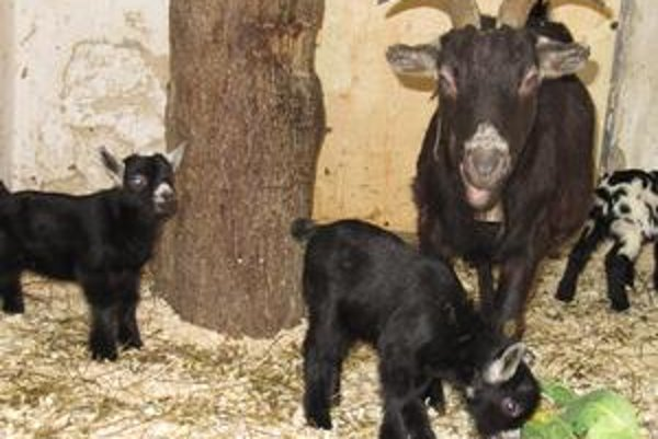 Prírastky. Kamerunské kozy.