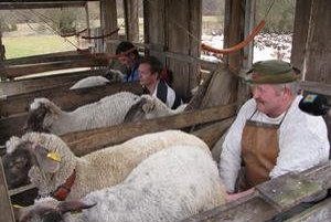 Dojenie oviec. Na salaši doja ovce zatiaľ dvakrát denne.