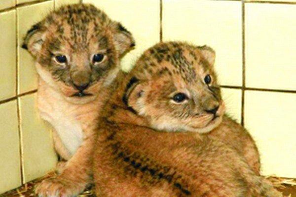 Levie mláďatá z bojnickej zoologickej záhrady.