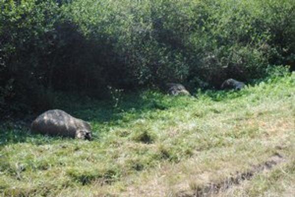 Strhnuté ovce. Scenár z minulého roku sa na tejto farme zopakoval.