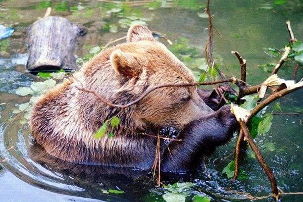 Medveď. Pri stretnutí s ním netreba panikáriť.