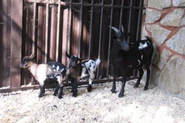 Mláďatá kozy kamerunskej. Pomerne jednoducho sa dajú vycvičiť.