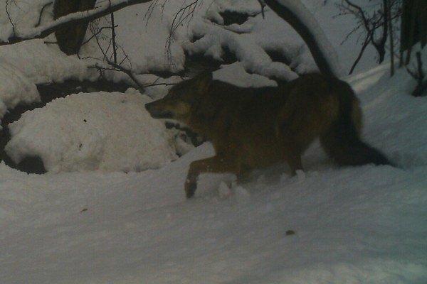 Vlk v haburských lesoch. Takto ho zachytila fotopasca 15. januára cez deň.