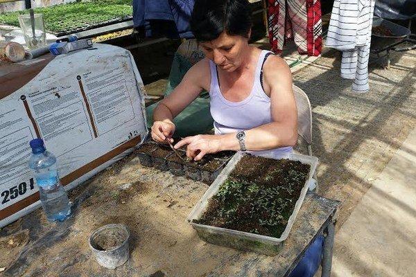 Pracovníci technických služieb dopestovali 12-tisíc sadeníc kvetov.