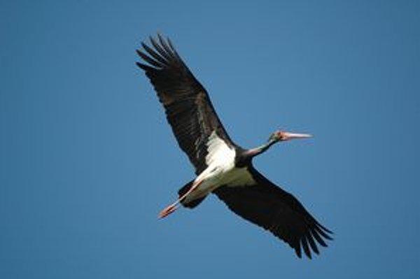 Bocian čierny. Lieta podobne ako bocian biely s krkom natiahnutým dopredu. Často ho môžeme vidieť, ako plachtí vysoko na oblohe v okolí Ptičieho alebo Chlmca, v blízkosti Čarnej hury.