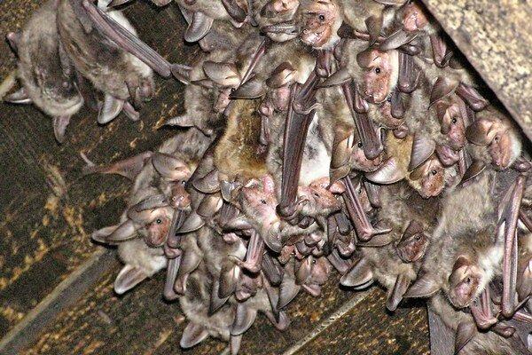Netopiere v kostoloch. Ochranári navštívili celkovo 10 kostolov v okrese Sobrance.  V povalových priestoroch objavili rôzne druhy netopierov.