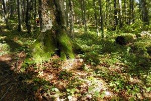 Karpatský bukový prales v Bukovských vrchoch.