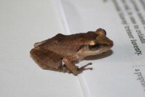 Princezná z Karibiku. Druh Eleutherodactylus martinicensis žije na ostrove Martinik v Karibiku. V Michalovciach ju objavili v nákupnom centre počas vybaľovania banánov.