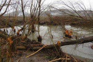 Bobrie hrádze. Jedna z hrádzí sa nachádza aj v potoku, ktorý sa vlieva do Šíravy v blízkosti budúceho akvaparku.