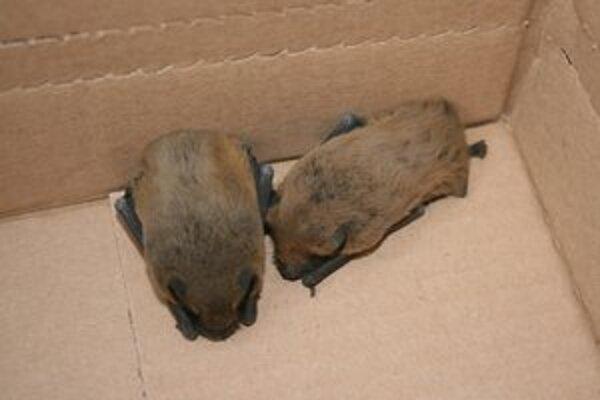 Netopiere, ktoré sa prebudili zo zimného spánku, vleteli do školy.  Do príchodu ochranárov ich žiaci odchytili do škatule.