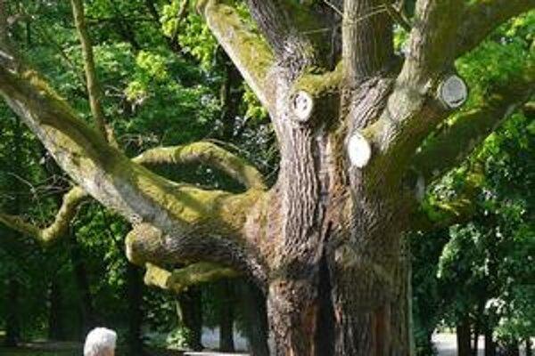 Obhorený dub. Má viac ako 300 rokov.