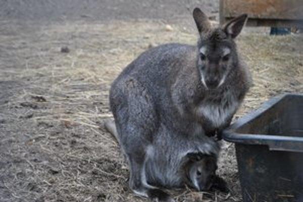 Kengurie prírastky. Štyri samice priviedli na svet štyri mláďatká.