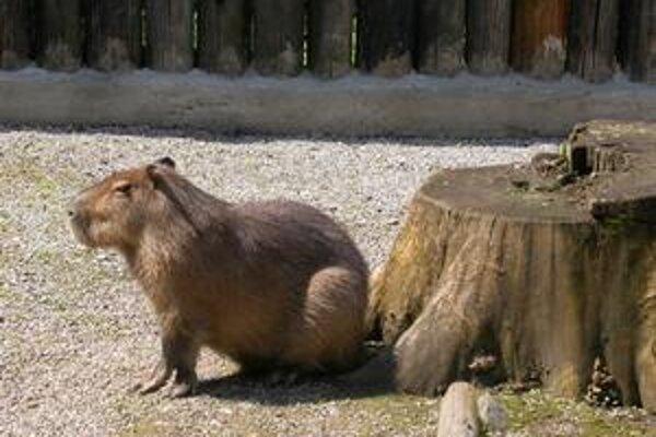 Kapybara. Viac ako rok bola jedinou svojho druhu v zoo. Dnes má už piatich spoločníkov.