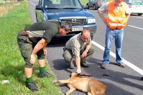Treba nahlásiť. Zver musia z vozovky odstrániť odborníci. Lesníci ŠL TANAP-u prišli prevziať malého srnčeka.