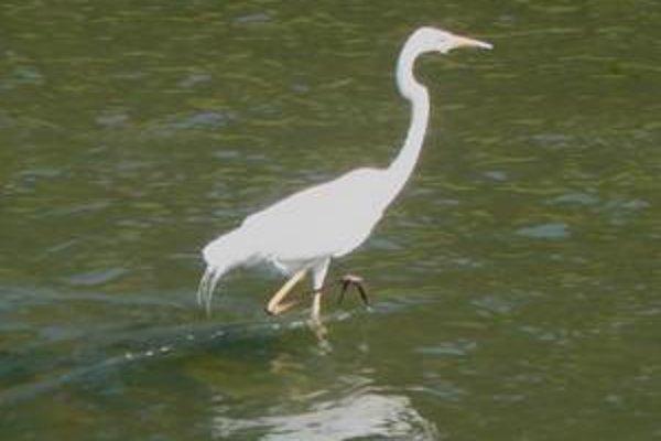 Volavka biela. Hniezdi a loví na Senianskych rybníkoch. Michalovčania ju mohli vidieť priamo v meste.