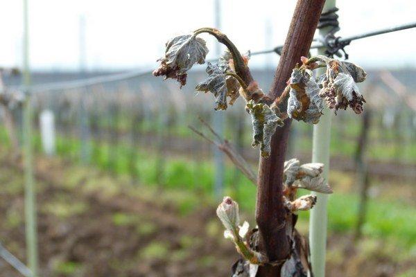Úroda hrozna bude menšia, víno drahšie.