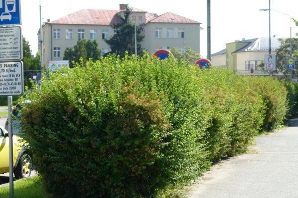 V meste rastie šesť kilometrov živých plotov.