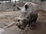 Samica nosorožca bieleho severného Nola.