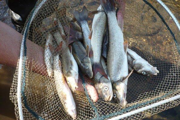 Uhynuté ryby. Pred  škodlivou látkou ryby nemajú úniku.