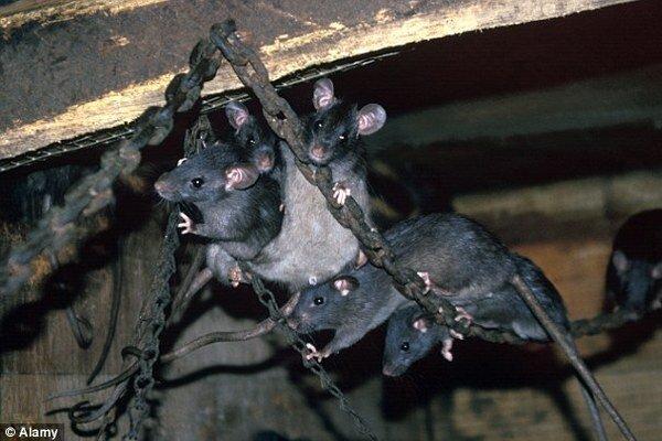 Potkany sa valia na Britániu.