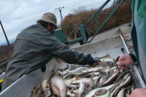 Triedenie šťúk od iných druhov rýb.
