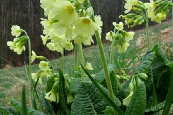 Primula elatior - Prvosienka vyššia