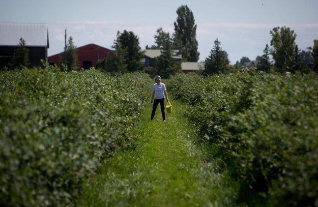 Čučoriedková plantáž v Kanade.