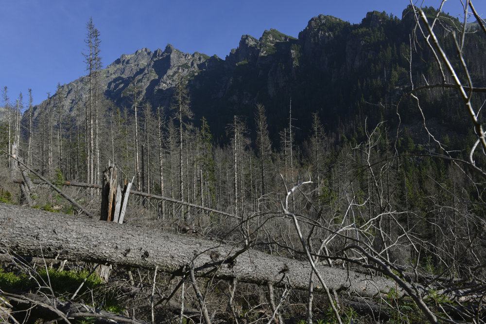 Vyschnutý smrekový les v ústí Veľkej Studenej doliny.