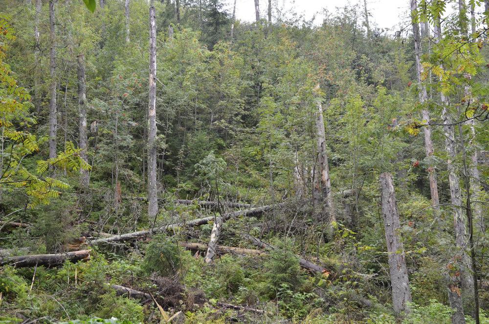 Pohľad na stromy zasiahnuté lykožrútom v Bielovodskej doline. Snímka je z 30.augusta 2016