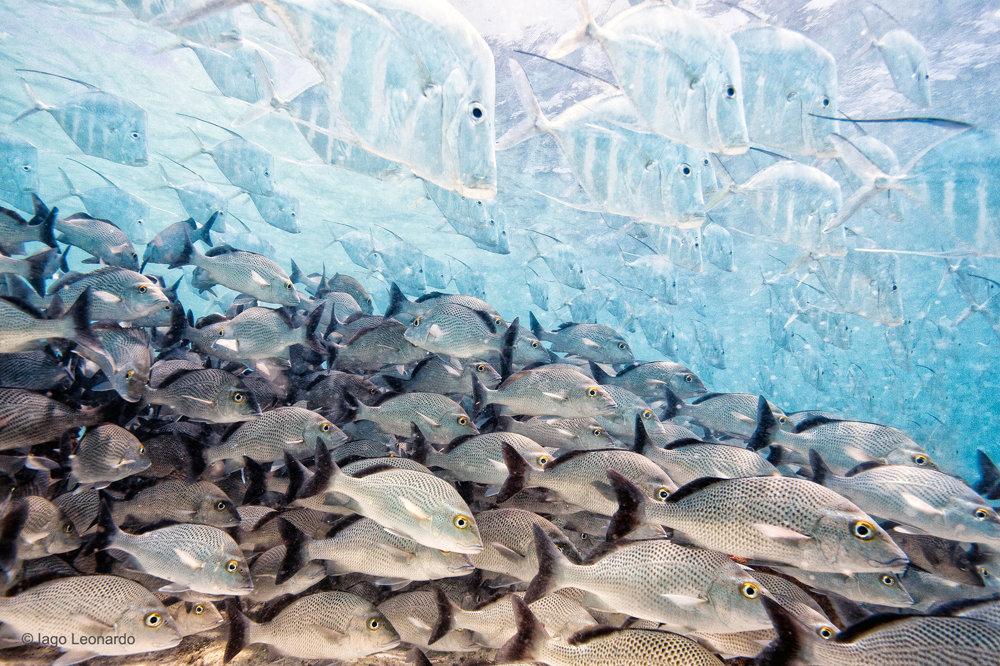 Miznúce ryby. Ryby z druhu Selene vomer sú majstrami kamufláže. Špeciálne doštičky na jej koži dokážu odrážať polarizované svetlo a pre predátorov sú z niektorých uhlov jednoducho neviditeľné.
