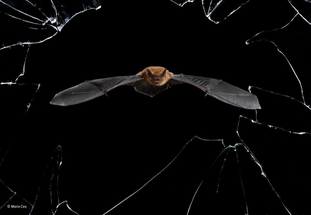 Kryštáľová presnosť. V opustenom dome v španielskej Salamance býva asi tridsať večerníc hvízdavých (Pipistrellus pipistrellus). Fotografia zachytáva jedného z týchto netopierov ako vyráža na nočný lov cez rozbité okno.