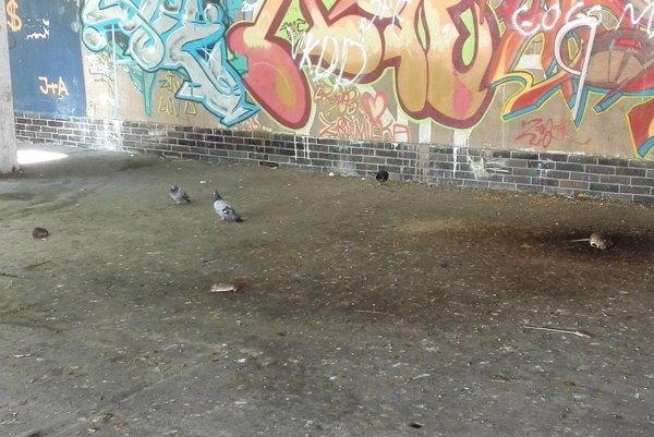 Náš čitateľ zachytil, ako sa pomedzi holuby špacírujú potkany. Na snímke sú tri, v tom istom momente ich však narátal celkom osem.