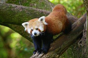 Panda červená je veľmi dobrý lezec. Výbeh jej museli prispôsobiť.