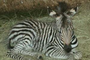 Zebra sa má k svetu. Čoskoro ju smamou pustia do voľného výbehu.