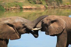 Slon africký / Loxodonta africana