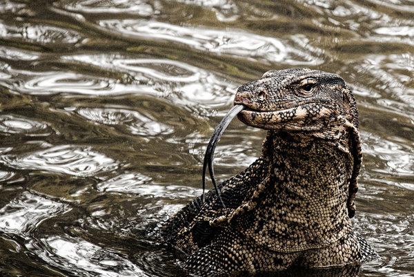 Varany by už nemali strašiť návštevníkov parku Lumpini v Bangkoku.