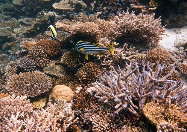Bohatý život v koralových záhradách pod hladinou Indického oceánu.