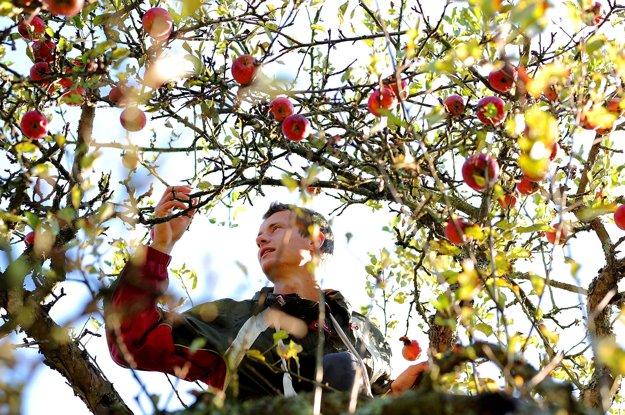 Ovocinár Ján Veselý v korune jabloní počas samozberu rôznych odrôd jabĺk v osade Španie pri obci Nová Bošáca.