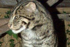 Mačka rybárska vie výborne plávať a brodiť sa vo vode.