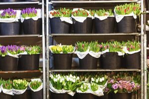 Neďaleko Zvolena v obci Kriváň vyrástla základňa jedného z najväčších predajcov rezaných kvetov na Slovensku