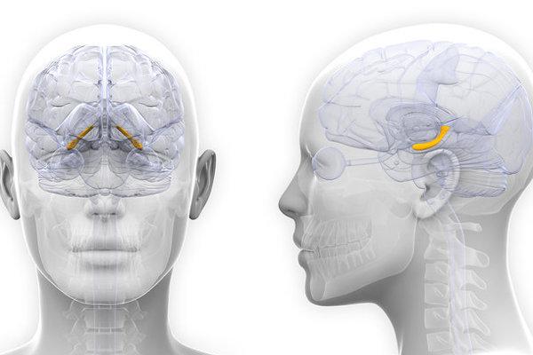Hipokampus (žltý) mení svoju veľkosť úmerne rastúcim a klesajúcim hodnotám estrogénu.