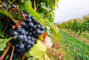 Vo viniciach sú už iba strapce určené na ľadový zber.