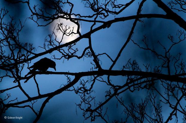 V londýnskom park sú vrany na konároch stromov bežným úkazom. Súhra mesačného svetla a súmraku ale mladému Gideonovi Knightovi umožnila zachytiť rozprávkovú snímku. Víťaz kategórie fotografov do 17 rokov. FOTO - GIDEON KNIGHT/WILDLIFE PHOTOGRAPHER OF THE YEAR 2016