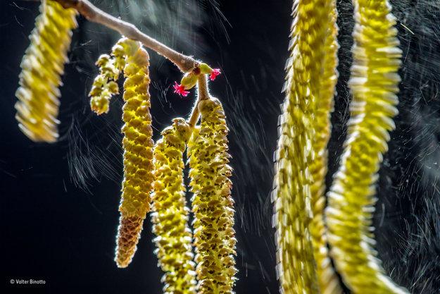 Peľ oplodňuje liesku. Aj keď má lieska na jednom strome samčie aj samičie kvety, peľ z jedného stromu musí oplodniť kvety nejakého iného. Víťaz kategórie Rastliny a Huby. FOTO - VALTER BINOTTO/WILDLIFE PHOTOGRAPHER OF THE YEAR 2016