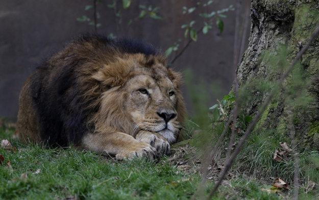 Samec ohrozeného leva ázijského.
