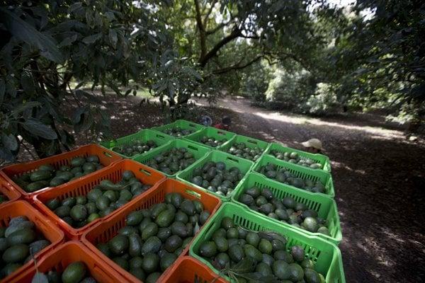 Avokádovníky v Michoacáne rastú v rovnakej nadmorskej výške ako borovica a iné ihličnany.