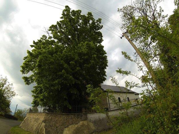 Lipa z Cigla je štvrtým Stromom roka na Slovensku pre rok 2016.