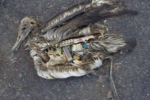 V telách albatrosa nachádzajú vedci veľké množstvá plastu.