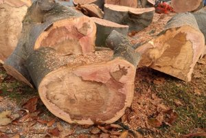 Zvnútra bol buk suchý a postupne práchnivel. Hnedá farba je mŕtva časť stromu,  ružová je ešte živá časť.