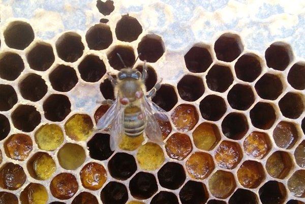 Včely v Toplianskej doline minulý rok decimoval mor aj klieštik. (Zdroj: MH)